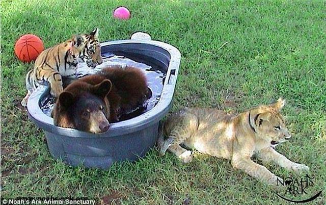 Gấu, sư tử và hổ hợp thành bộ ba tri kỷ ngoài đời thực, cộng đồng mạng ngạc nhiên, không dám tin vào mắt - Ảnh 2.