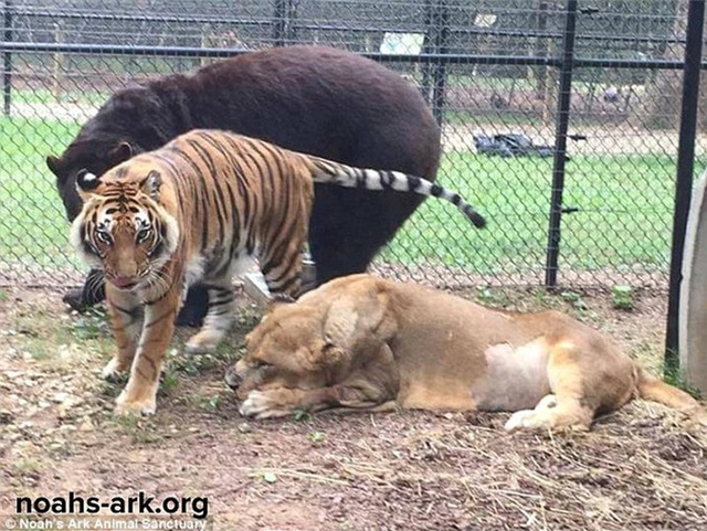 Gấu, sư tử và hổ hợp thành bộ ba tri kỷ ngoài đời thực, cộng đồng mạng ngạc nhiên, không dám tin vào mắt - Ảnh 4.