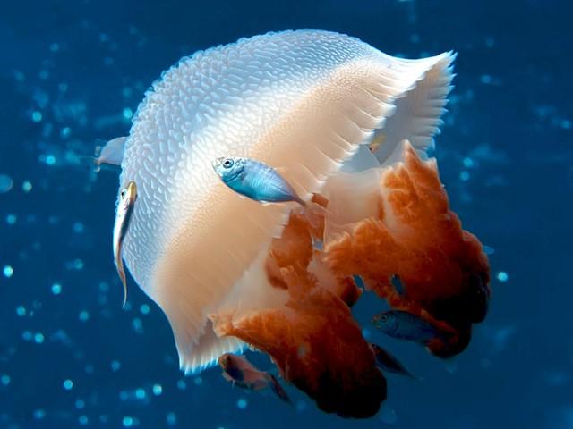 Top 6 điều thú vị về loài sứa, điều cuối sẽ khiến bạn bất ngờ đấy (P.1) - Ảnh 3.