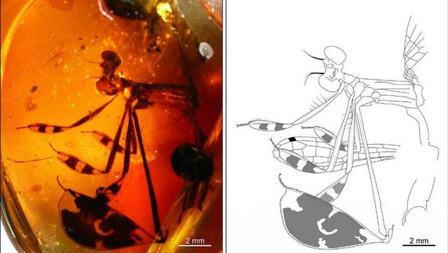 Hai cá thể ruồi đang quan hệ thì bị dính nhựa thông, mắc kẹt trong tư thế nhạy cảm suốt 41 triệu năm - Ảnh 4.