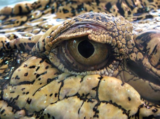 Top 5 điều kỳ thú về cá sấu nước mặn - loài bò sát đáng sợ nhất Trái Đất hiện tại, điều cuối sẽ khiến bạn rùng mình đấy - Ảnh 2.