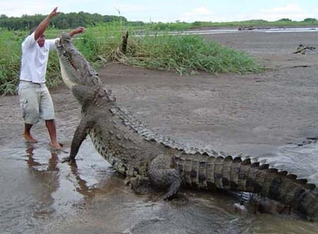 Top 5 điều kỳ thú về cá sấu nước mặn - loài bò sát đáng sợ nhất Trái Đất hiện tại, điều cuối sẽ khiến bạn rùng mình đấy - Ảnh 3.