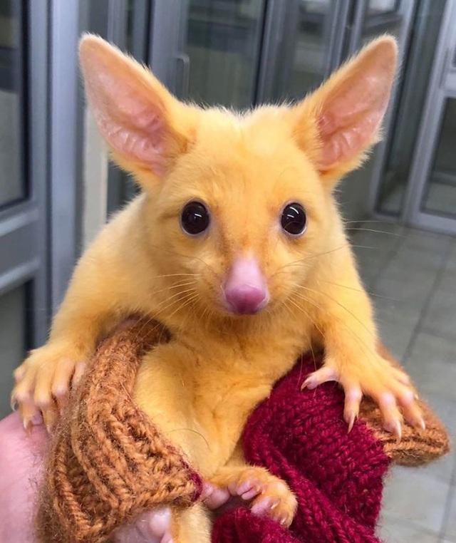 Phòng khám Úc giải cứu thành công Pikachu đời thực - Ảnh 1.