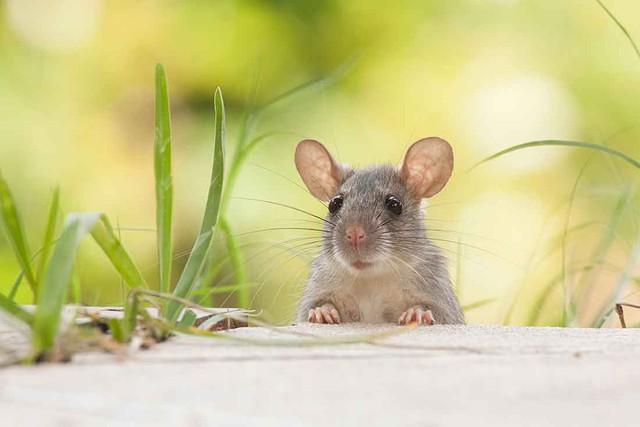 Sự thật kinh dị: Một ngày nào đó, chuột sẽ thay con người thống trị Trái Đất - Ảnh 1.