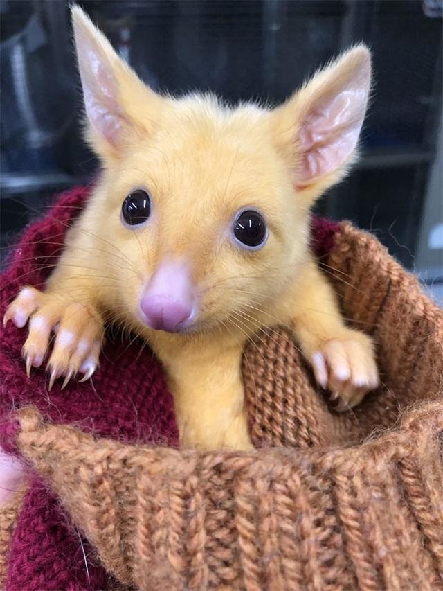 Phòng khám Úc giải cứu thành công Pikachu đời thực - Ảnh 3.
