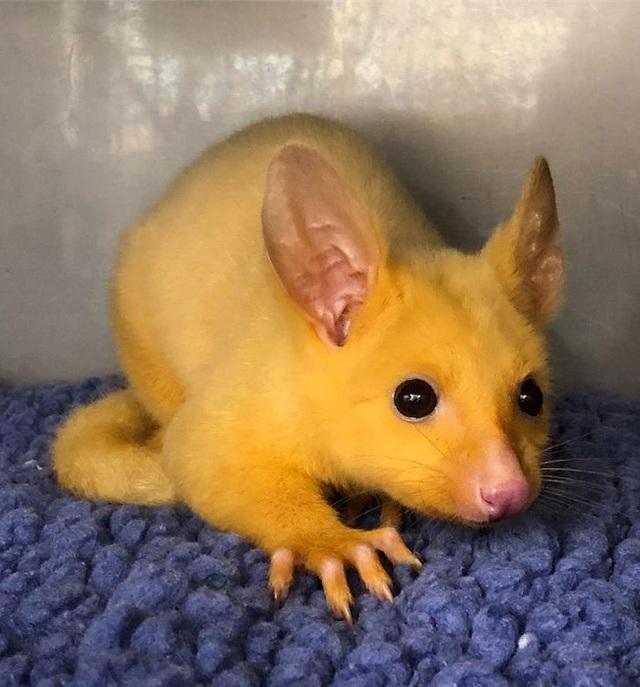 Phòng khám Úc giải cứu thành công Pikachu đời thực - Ảnh 6.