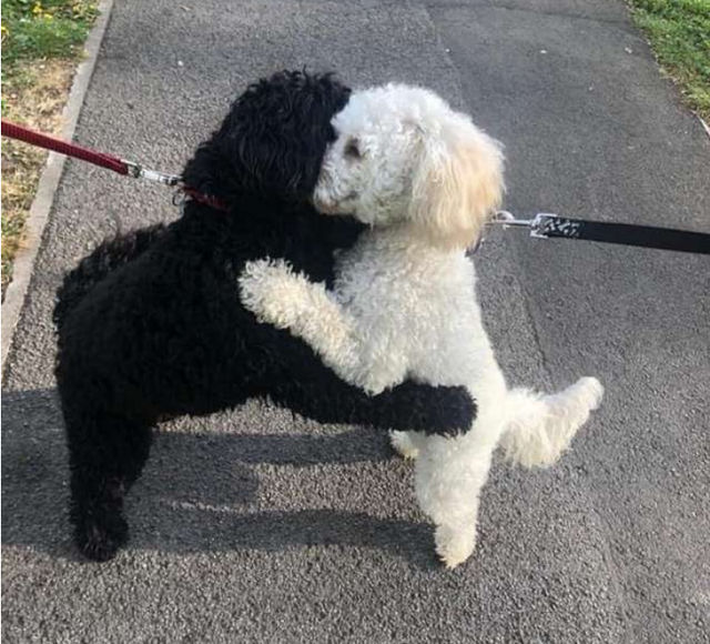 Hai chú poodle ôm chầm lấy nhau khi chạm mặt, dân mạng cảm động khi biết quan hệ của chúng - Ảnh 2.