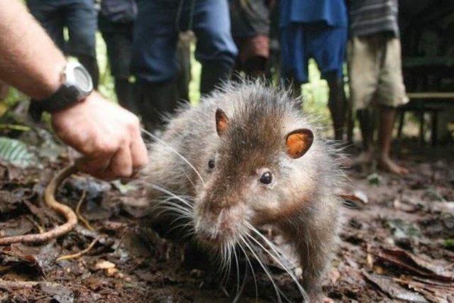Ớn lạnh trước loài chuột khổng lồ: Dài tới cả mét, chưa biết sợ người là gì - Ảnh 3.