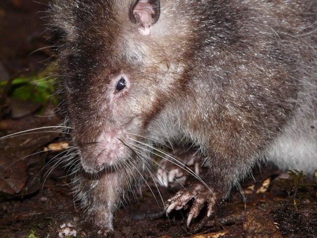 Ớn lạnh trước loài chuột khổng lồ: Dài tới cả mét, chưa biết sợ người là gì - Ảnh 1.