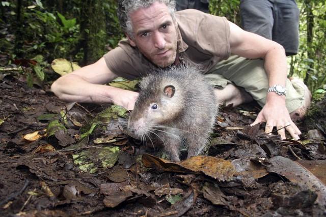Ớn lạnh trước loài chuột khổng lồ: Dài tới cả mét, chưa biết sợ người là gì - Ảnh 2.