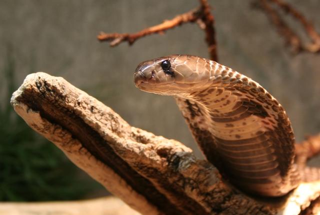 Top 5 sự thật mà chúng ta thường xuyên hiểu nhầm về rắn - Ảnh 4.