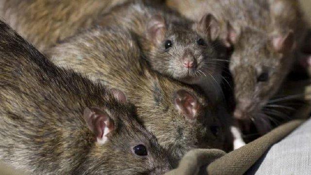 Top 5 sự thật kinh dị về loài chuột, bạn đã biết được bao nhiêu? - Ảnh 4.