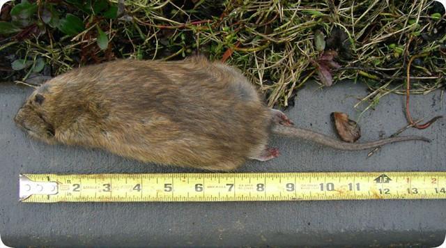 Top 5 sự thật kinh dị về loài chuột, bạn đã biết được bao nhiêu? - Ảnh 2.