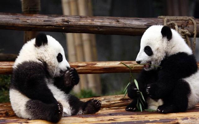 Khám phá lần đầu làm chuyện ấy để bảo vệ giống nòi của cặp vợ chồng gấu trúc sau hơn 9 năm chung sống - Ảnh 3.