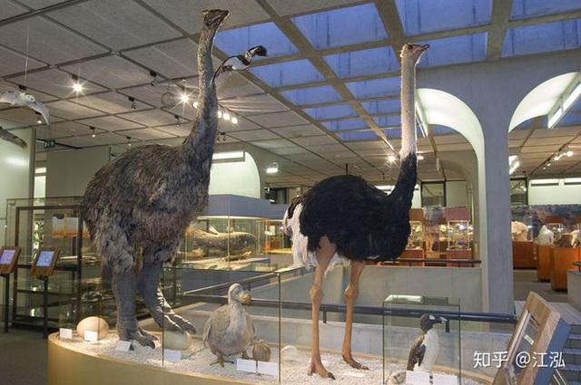 Madagascar phát hiện ra loài chim khổng lồ đầu tiên trong lịch sử có độ cao lên tới 3 mét - Ảnh 9.