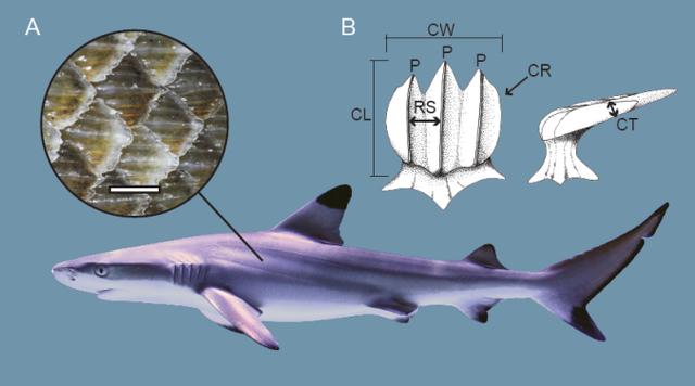 Top 4 điều thú vị về cá mập, bạn đã biết chưa? - Ảnh 2.