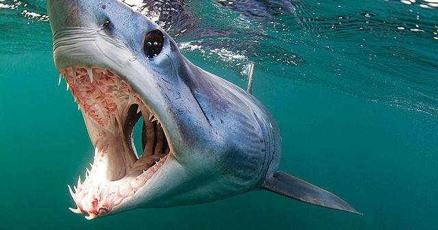 Cá mập Mako có tốc độ thuộc hàng nhanh nhất.