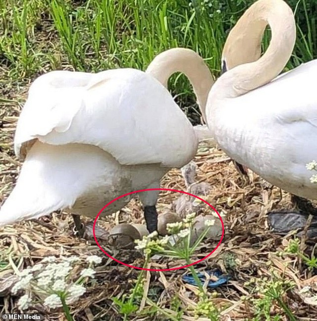 Chứng kiến tổ trứng bị vỡ nát còn bạn tình thì bỏ đi, thiên nga mẹ gục chết trong uất ức - Ảnh 3.