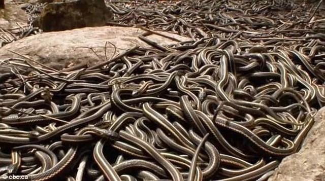 Giải mã bí ẩn: Chuyện hoan lạc của loài rắn thú vị thế nào? (P.1) - Ảnh 3.