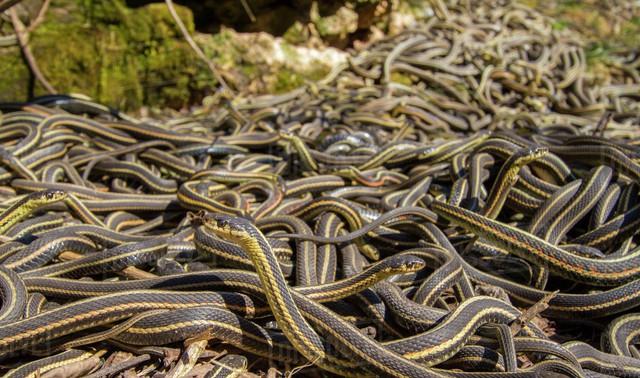 Giải mã bí ẩn: Chuyện hoan lạc của loài rắn thú vị thế nào? (P.1) - Ảnh 4.