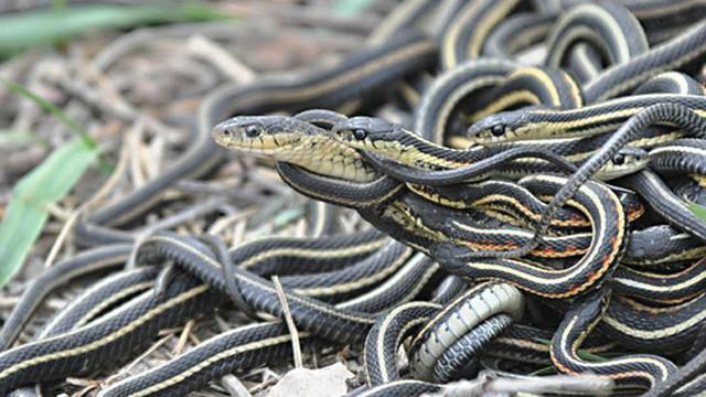 Giải mã bí ẩn: Chuyện hoan lạc của loài rắn thú vị thế nào? (P.2) - Ảnh 4.