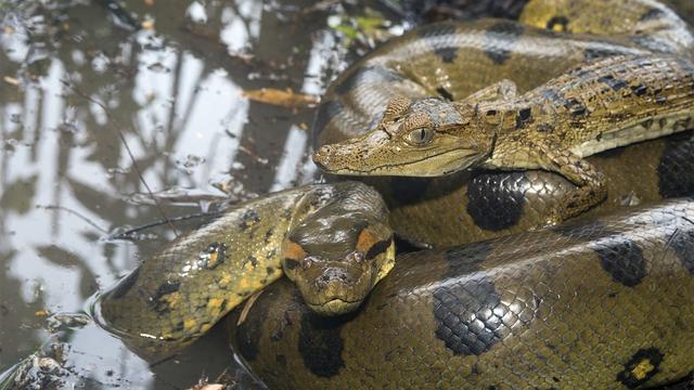 Giải mã bí ẩn: Chuyện hoan lạc của loài rắn thú vị thế nào? (P.2) - Ảnh 3.