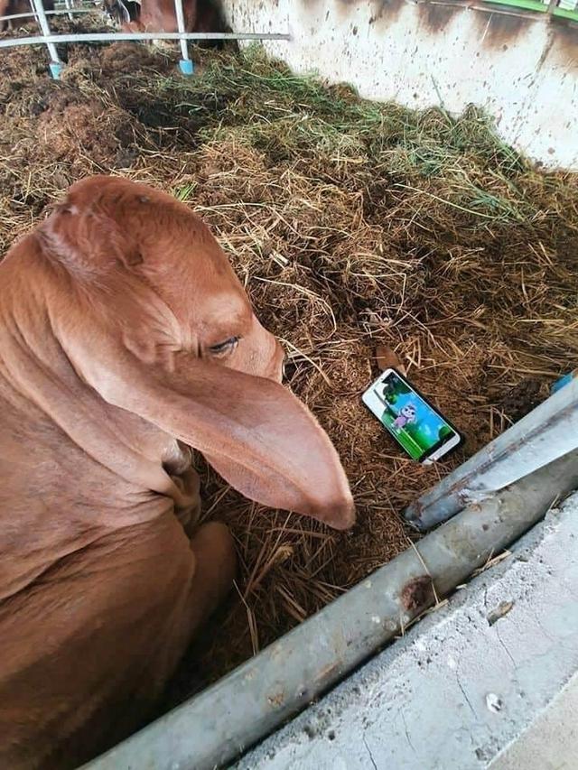 Đang nằm thư giãn xem hoạt hình trên Youtube, chú bò phẫn nộ, yêu cầu trả điện thoại ngay khi bị tịch thu - Ảnh 1.