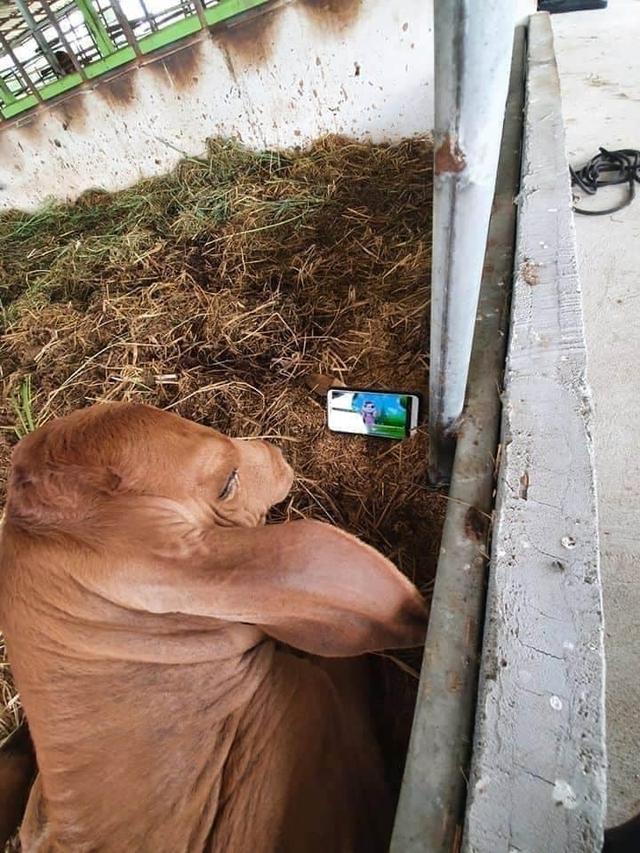 Đang nằm thư giãn xem hoạt hình trên Youtube, chú bò phẫn nộ, yêu cầu trả điện thoại ngay khi bị tịch thu - Ảnh 2.