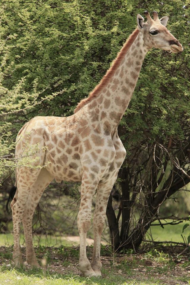 Lần đầu tiên các nhà khoa học phát hiện ra những chú lùn của loài hươu cao cổ - Ảnh 4.