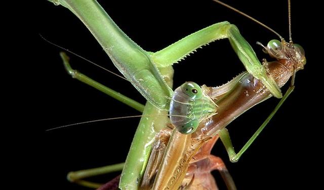 Những con bọ ngựa đực đang tiến hóa để không bị bọ ngựa cái ăn thịt sau giao phối - Ảnh 1.