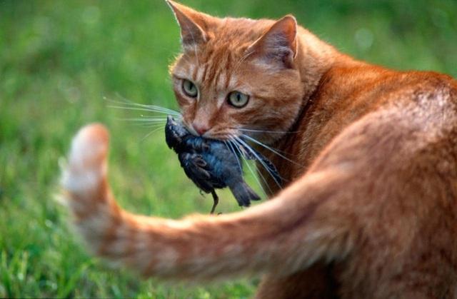 Tìm ra giải pháp khoa học khiến mèo bớt tha mấy con vật chết về nhà - Ảnh 2.