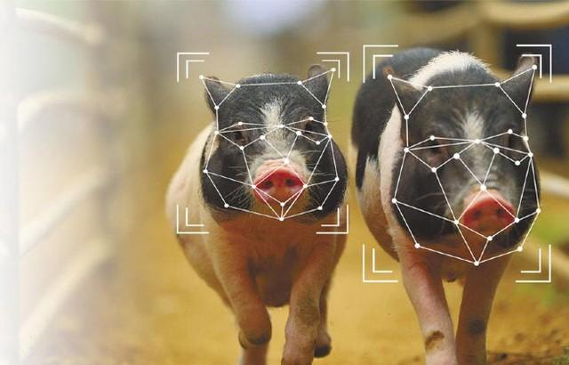 Bị kìm kẹp quá đáng, tập đoàn công nghệ hàng đầu thế giới chuyển sang…. chăn lợn - Ảnh 1.