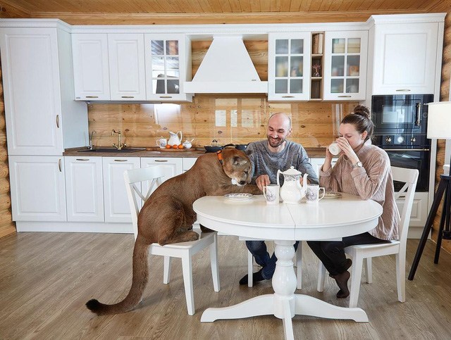 Chán nuôi mèo bình thường, cặp đôi người Nga quyết định nuôi hẳn sư tử núi trong nhà làm thú cưng - Ảnh 5.