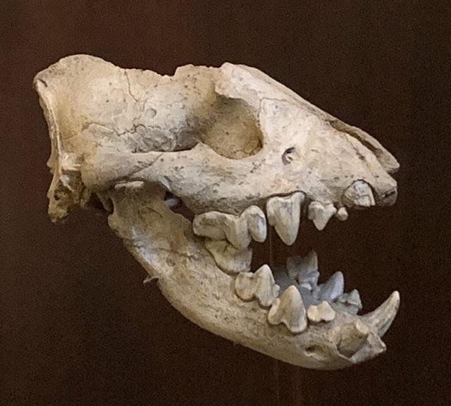 Top 10 loài động vật khủng khiếp nhất mà người tiền sử từng phải đối mặt - Ảnh 8.