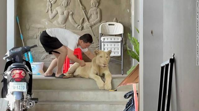 """Lỡ khoe nuôi sư tử lên mạng xã hội, TikToker bị tịch thu """"boss"""" cưng ngay tức khắc - Ảnh 1."""