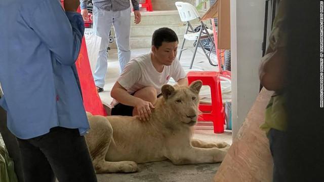 """Lỡ khoe nuôi sư tử lên mạng xã hội, TikToker bị tịch thu """"boss"""" cưng ngay tức khắc - Ảnh 2."""