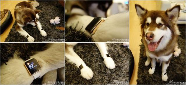 Đại gia Trung Quốc từng mua Apple Watch cho chó đeo nay phải ngánh món nợ hàng chục triệu USD, bị liệt vào danh sách đen - Ảnh 2.