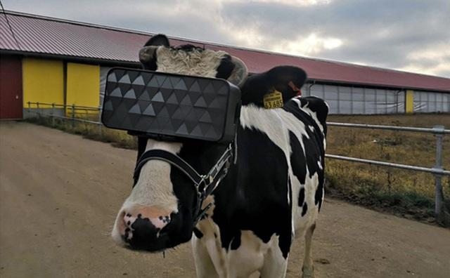 Cho bò sữa xem phim thực tế ảo và hiệu quả không ngờ - Ảnh 1.