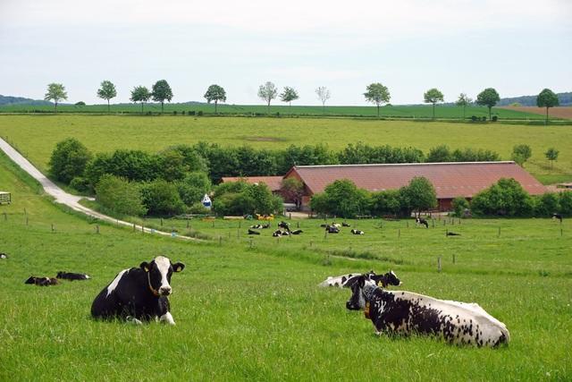 Cho bò sữa xem phim thực tế ảo và hiệu quả không ngờ - Ảnh 2.