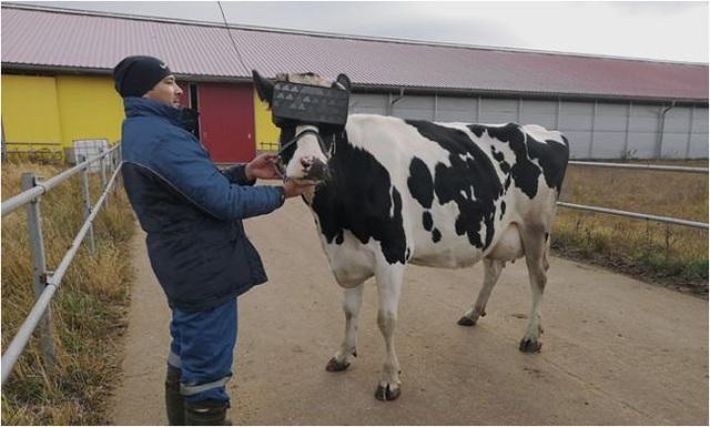 Cho bò sữa xem phim thực tế ảo và hiệu quả không ngờ - Ảnh 3.
