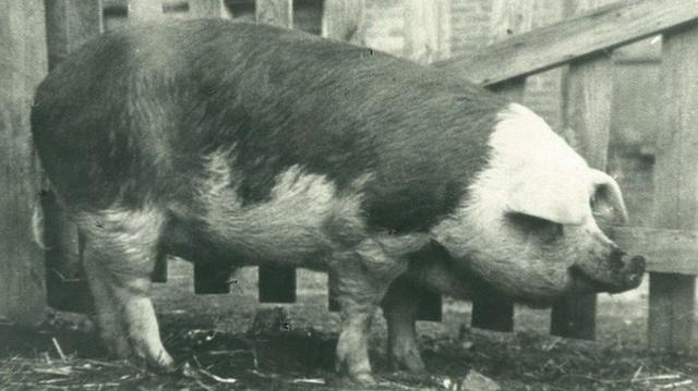 King Neptune: Chú lợn đắt giá nhất hành tinh, từng kiếm được hơn 250 triệu USD và góp công làm thay đổi thế giới - Ảnh 1.