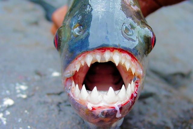 Khi mì Ramen kết hợp với loài cá ăn thịt Piranha: Giá 650k/bát, mỗi ngày chỉ bán 100 bát - Ảnh 2.