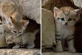 Sự thật thú vị về Mèo Cát - loài