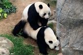 Công viên đóng cửa tránh dịch Covid-19, cặp đôi gấu trúc nổi tiếng giao phối thành công sau 10 năm thất bại khiến ai nấy đều vui mừng