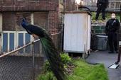 """Cảnh sát sử dụng tiếng kêu gợi tình của chim công cái để """"tóm cổ"""" con công đực bỏ trốn khỏi sở thú"""