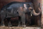 """35 năm khổ sở của """"chú voi cô độc nhất hành tinh"""" sắp được tự do: Gánh chịu nỗi đau mất bạn đời, tình trạng sức khỏe ai nghe cũng xót xa"""