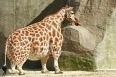 Lần đầu tiên các nhà khoa học phát hiện ra những chú lùn của loài hươu cao cổ