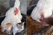 Thấy mèo mẹ kiệt sức, tử vong sau sinh, gà mái thương xót,