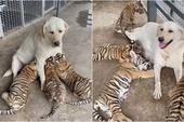 Chó nuôi hổ, cho bú tận tình tới khi lớn và cái kết khiến cộng đồng mạng bất ngờ