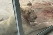 Nuôi hổ và sư tử trong nhà, đại gia bị cắn trọng thương chỉ vì say rượu